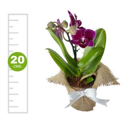 Orquídea Mini 1